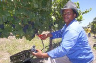 Henry Opperman busy with Pinot Noir harvest 2015