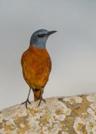 Rock thrush, Cape