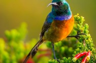 Sunbird, Orange-brasted