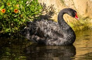 birds-of-eden-BLack Swan - BOE