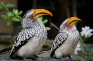 birds-of-eden-Hornbills - BOE