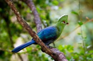 birds-of-eden-Knysna Loerie - BOE