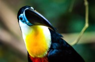 birds-of-eden-Toucan - BOE