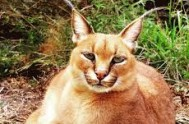 jukani wild cat sanctuary - plettenberg bay south africa 9