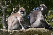 monkeyland-2 types of langurs