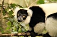 monkeyland-Black and White Ruffed Lemur