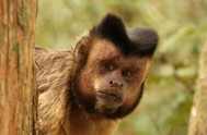 monkeyland-Capuchin - ML