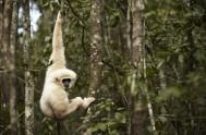 monkeyland-Gibbon - ML