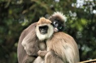 monkeyland-Hanuman Langur
