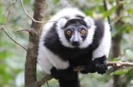 monkeyland-Monkeyland Black and White Ruffed Lemur 39