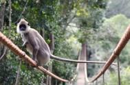 monkeyland-Monkeyland Hanuman Langur 2