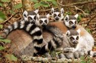 monkeyland-Ringtail Lemur