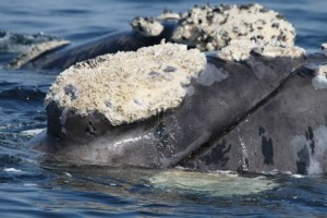 southern-right-whale-in-plett