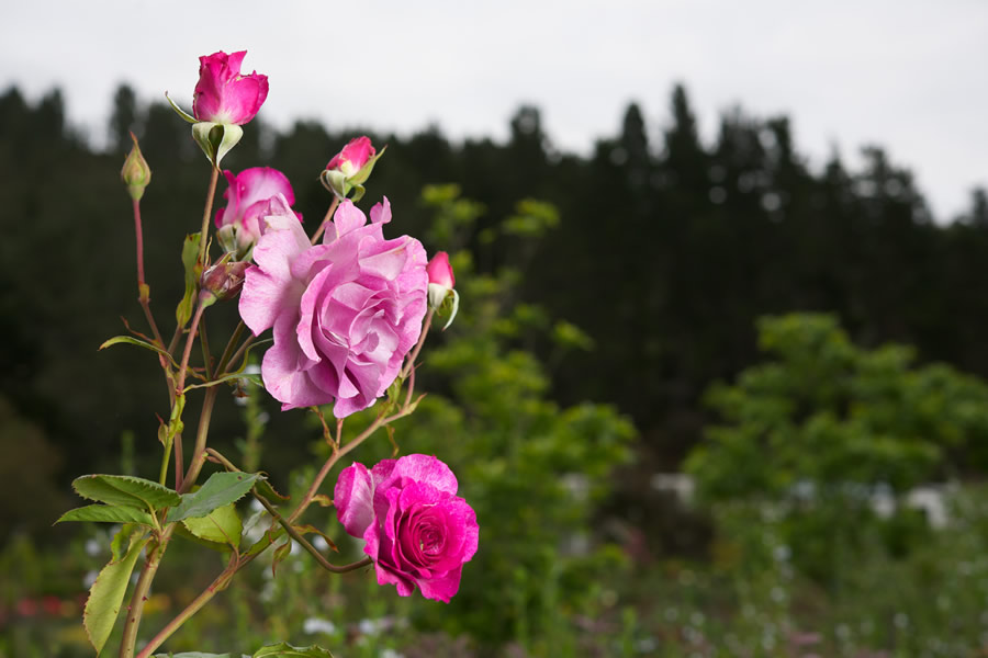 Bosky Dell Rose Garden Plettenberg Bay