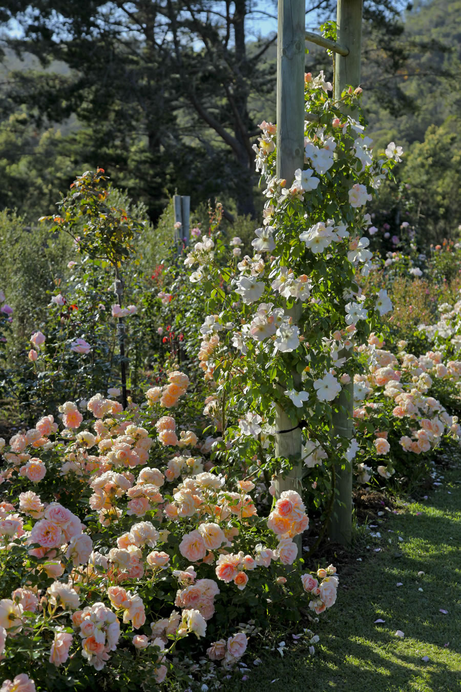Roses In Garden: Bosky Dell Rose Farm « Rose Viewings At Bosky Dell Rose