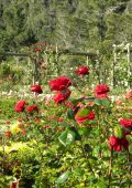 Bosky Dell Rose Garden – an appeal