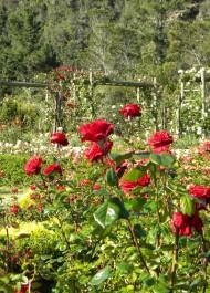 Bosky Dell Rose Garden – an appeal