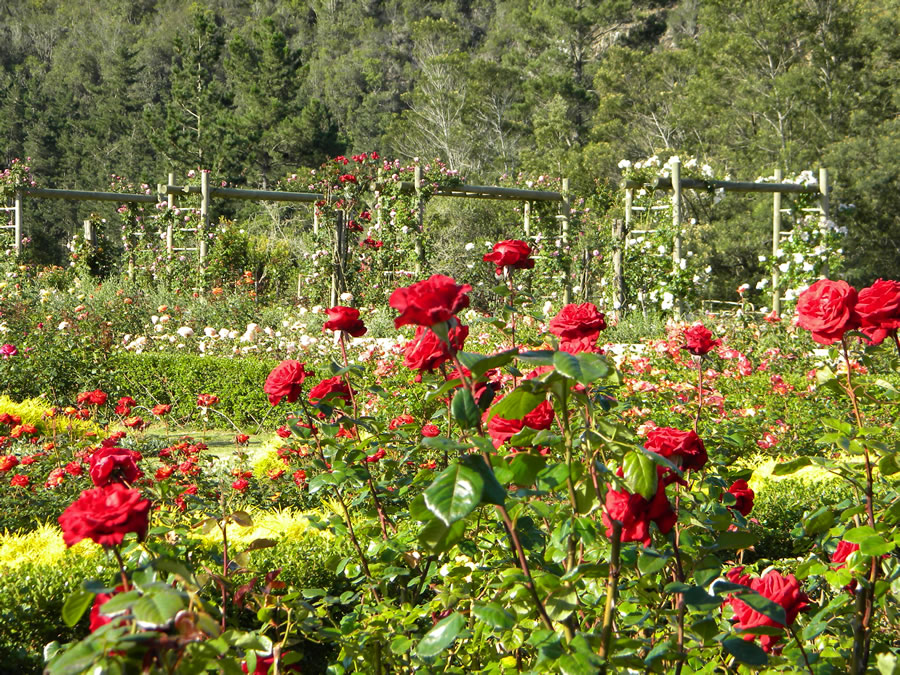 bosky dell rose farm rose walk 86