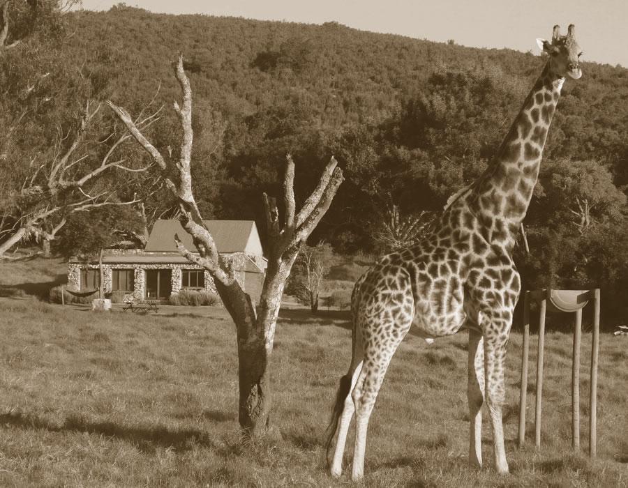 Giraffe View in Plettenberg Bay - Plett Giraffe View
