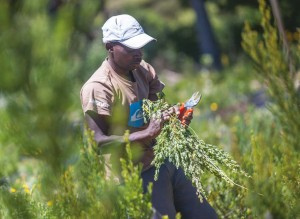 Hidden Woods Honeybush tea harvesting in Plett