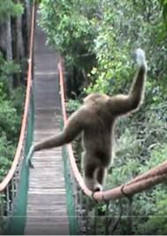 Video: Gibbon Tightrope Walks Bridge