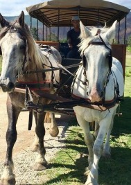 Horse carriage rides through the Plett Winelands