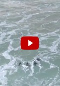 Video: Five rehabilitated penguins released in Plett