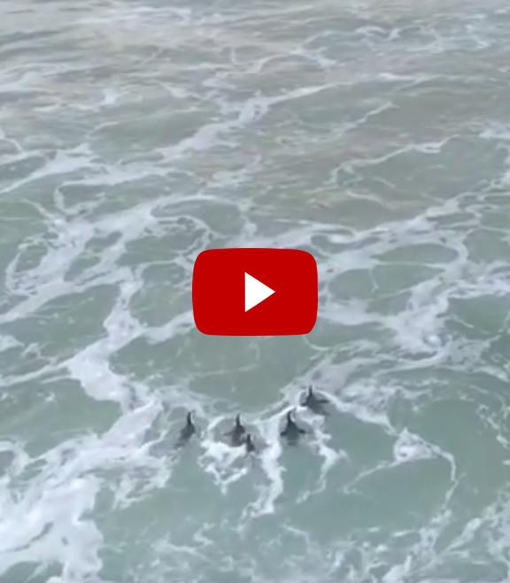 Penguin release in Plett