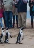 Rehabilitated African Penguins released in Plett