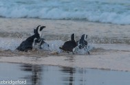 five rehabilitated African Penguins released 2
