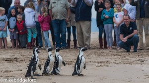 Five rehabilitated African Penguins released in Plett