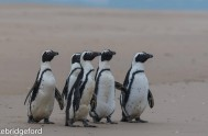 five rehabilitated African Penguins released 4