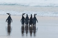 five rehabilitated African Penguins released 5