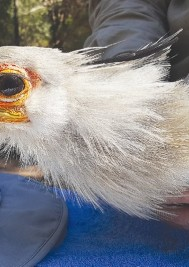 Rare secretary birds released into Plett skies after fires in June