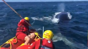 Whale freed from rope and buoy near Plettenberg Bay