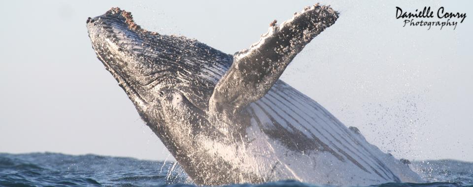 Humpback whale breaching in Plettenberg Bay