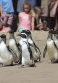 Crowd of 500 at penguin release