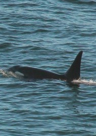 Orcas hunting Dolphins in Plettenberg Bay