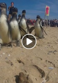Newsletter #167 – National Geographic features Plett penguin release