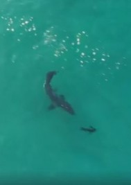 Video: Great white sharks hunting seals off Robberg