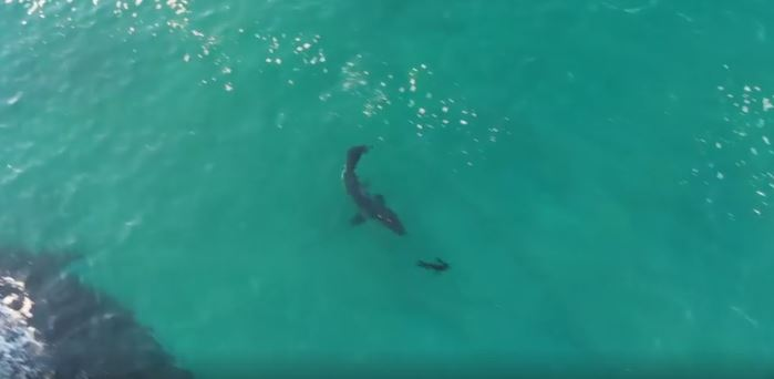 great white shark hunts seals plett