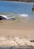 Video: Massive seal in Plett lagoon catches fish in shallows