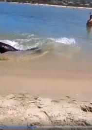 Video: Massive seal in Plett lagoon catches fish in shallows