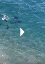 Video: Great white shark v seals in Plett