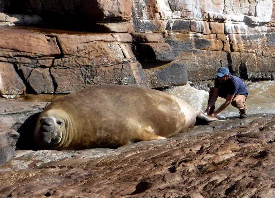 Seal biologist, Frikkie Van Der Vyver, tags Solo the elephant seal. Photo: Eben Lourens