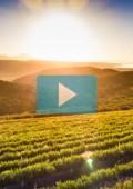 Watch Plett's Organic Bitou Honeybush Tea Story