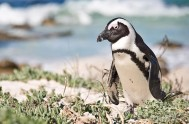 The African penguin is very much at home right here in Plettenberg Bay