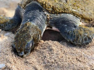 This is Alvi, a green sea turtle that was rescued at Struisbaai after choking on plastic litter. Alvi wasn't rescued by a crack team of professionals - he was found by a family of holiday-makers. Nobody plans to rescue a turtle, so having a network of passionate people ready to assist is vital.