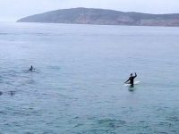 Video: Paddling with dolphins and a humpback whale