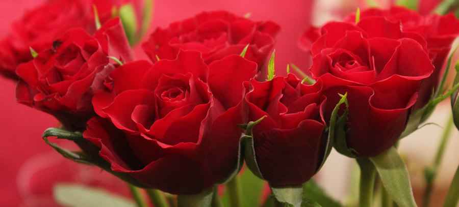red-roses-valentine-s-day-flowers